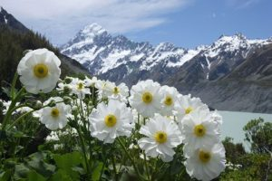 Mt Cook Lily and Mt Cook Fraser Gunn croped 300x200 - Флора и фауна Таджикистана